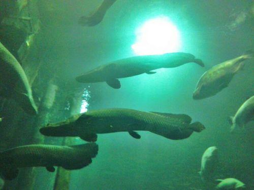 Las legendarias arapaimas del acuario han crecido.