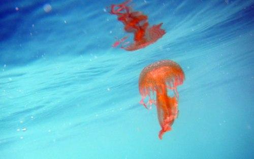Pelagia noctyluca, una de las muchas medusas que poblaban la piscina de los atunes.