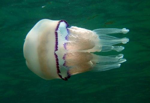 Las medusas nos acompañaron en alguna de las inmersiones.